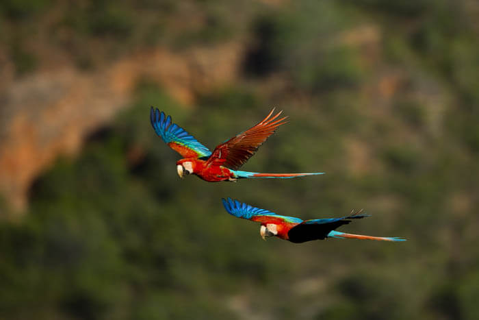 Macaws flying in the Amazon