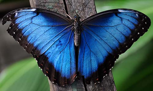 Blue Morpho - The Ultimate Guide to Iquitos for Ayahuasca Travellers