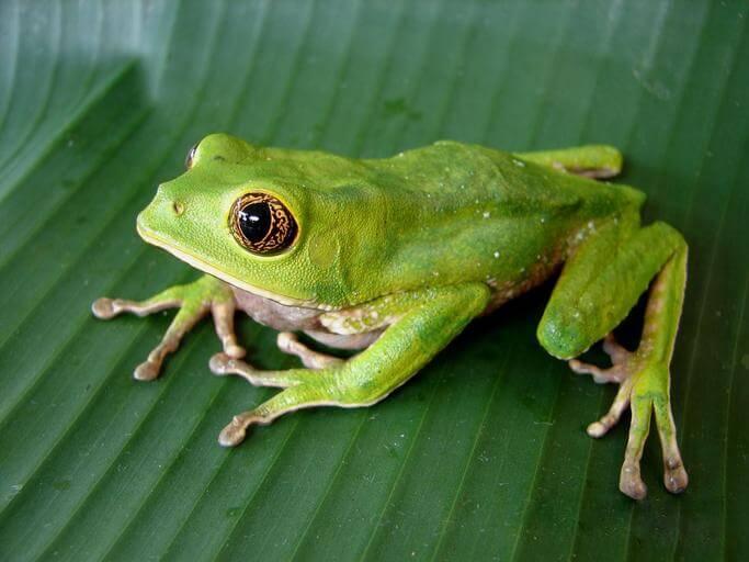 Phyllomedusa venusta01a - Kambo - Amazon Frog Medicine